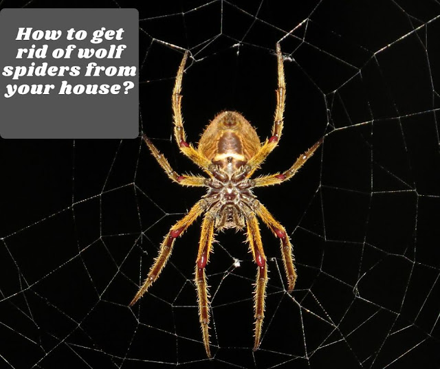 How to get rid of wolf spiders from your house?
