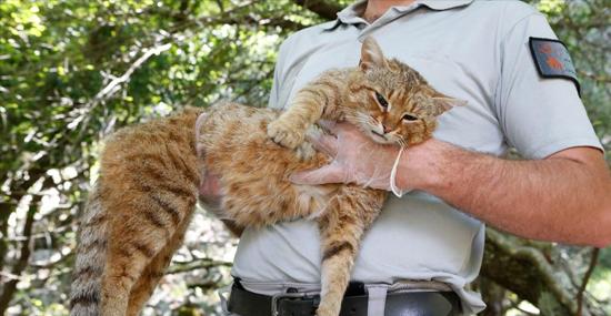 Nova espécie de Gato-Raposa que era considerada um mito foi descoberta - Capa