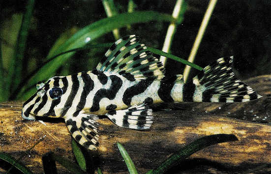 Leopard Frog Pleco