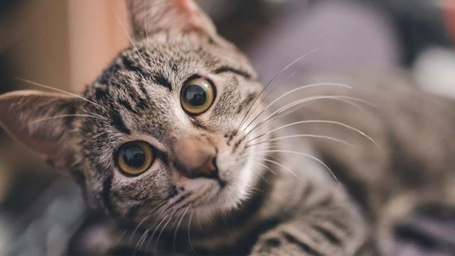Έχετε αναρωτηθεί ποτέ γιατί οι γάτες έχουν μουστάκια;