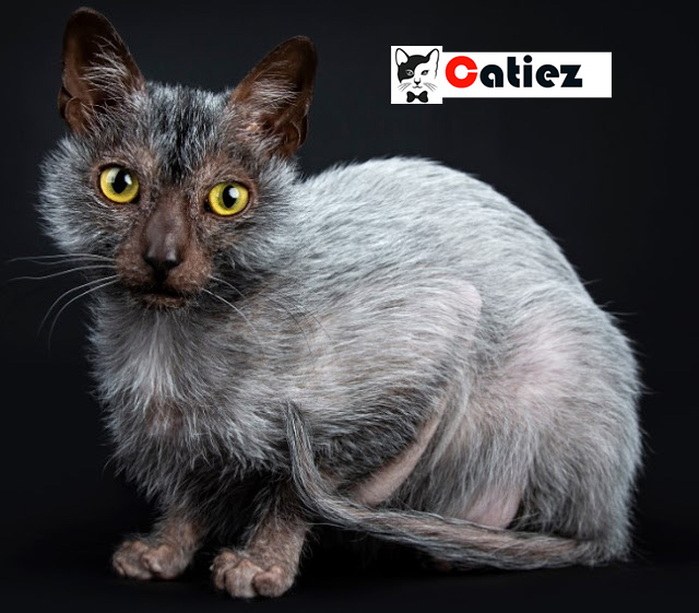 lykoi cat - all you want to know about lykoi cats