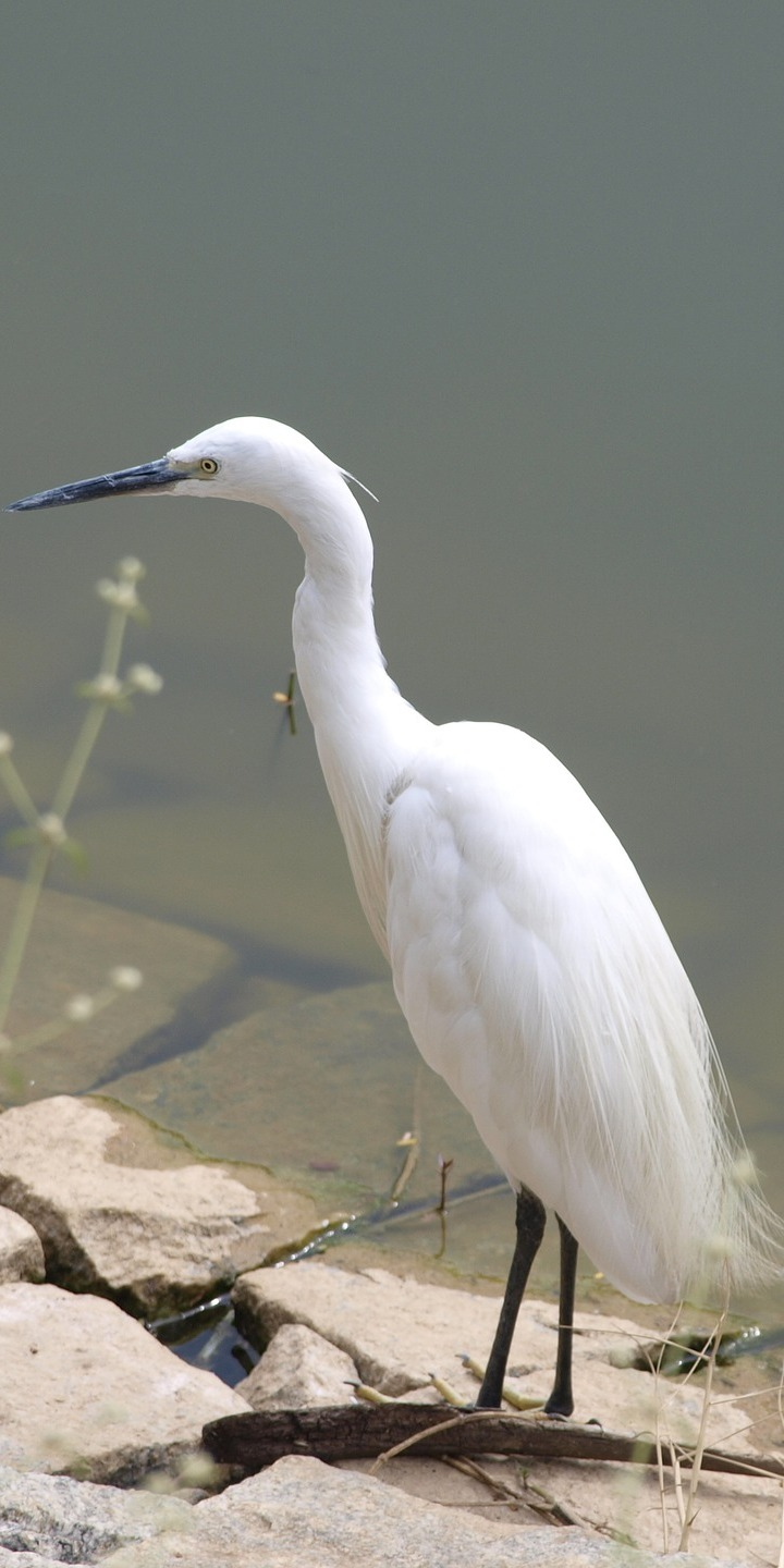 Picture of a little egret.