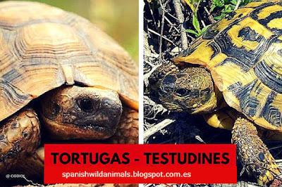 Orden Testudines, entre ellas están: Tortuga Laúd, Galápago europeo