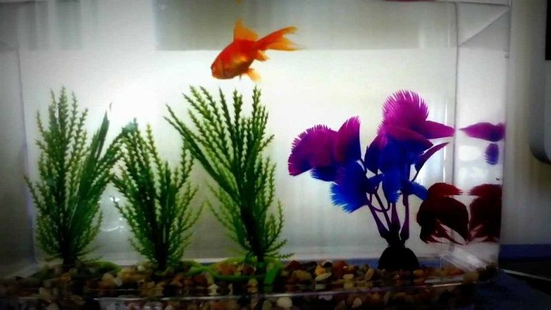 Can Betta Fish Live with Goldfish Image