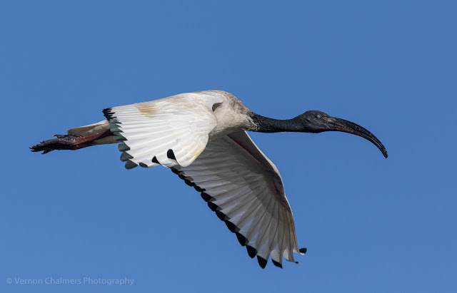 African Ibis in Flight Woodbridge Island, Cape Town