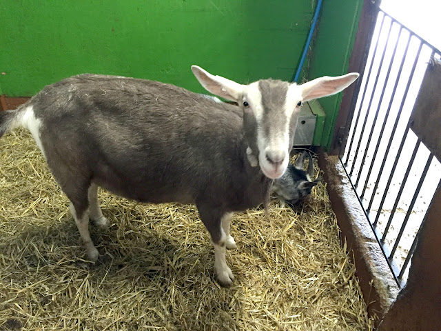 Goat at Whitehouse Farm Morpeth Northumberland
