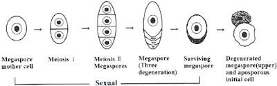 Tetrad Setelah Meiosis I