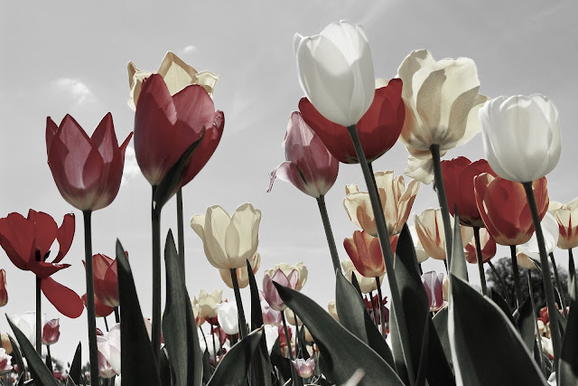 white and maroon tulip-flower image