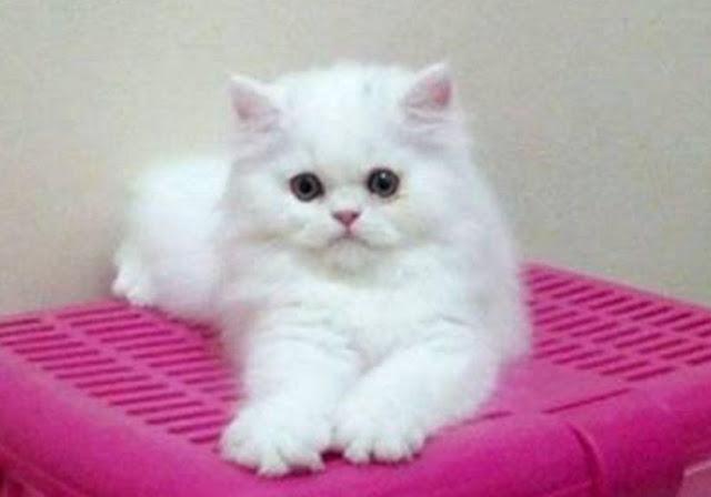 kucing persia flatnose putih