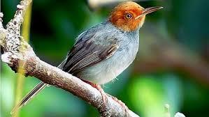 Prenjak Kepala Merah, Burung Kecil Eksotis Bersuara merdu