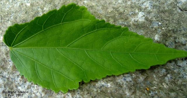 Folha  Malvaviscus arboreus
