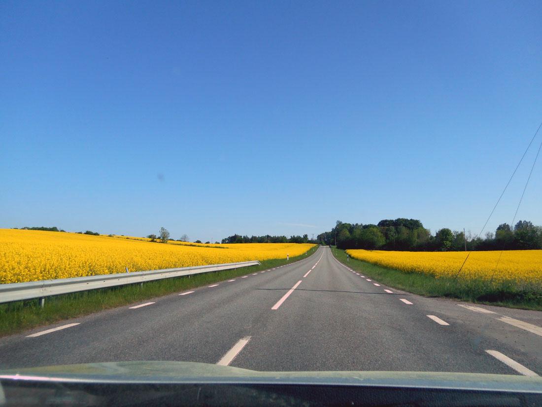 Campi di colza in fiore in Scania