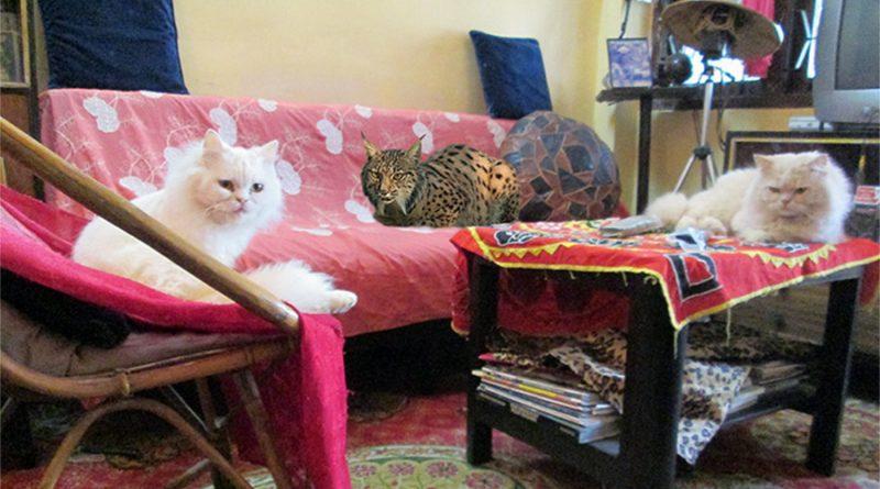 lince y gatos