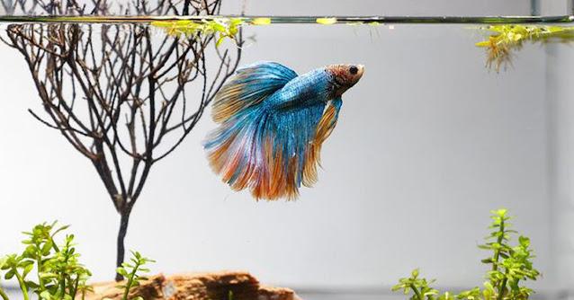 Cara Breeding Ikan Cupang Giant yang Mudah