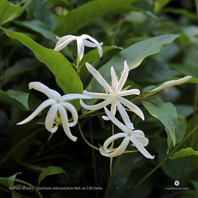 ดอกมะลิวัลย์ (ผักแส้ว) : Jasminum adenophyllum [Oleaceae]