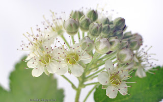 http://fotobabij.blogspot.com/2016/03/pecherznica-kwiaty-physocarpus-flowers.html