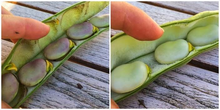 skörd bondbönor