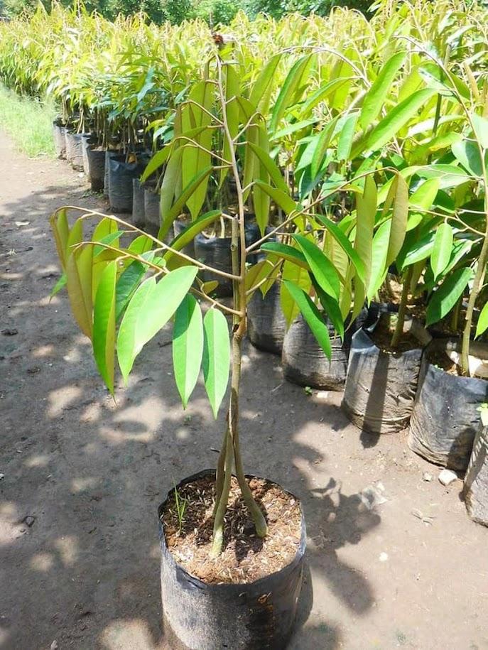 Bibit Buah Durian Musangking Kaki 3 okulasi super unggul Lubuklinggau