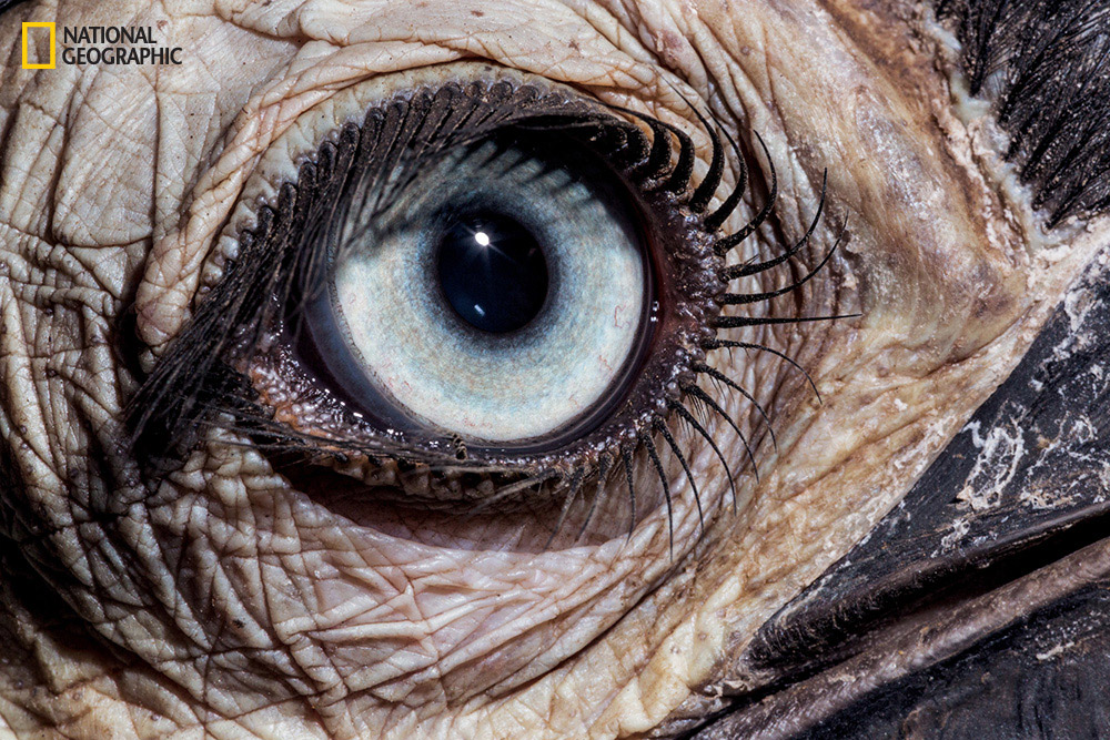 White Wolf : National Geographic takes a fascinating close ...Animal Eye Close Up