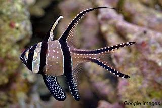 Banggai Cardinalfish / Capung Ambon