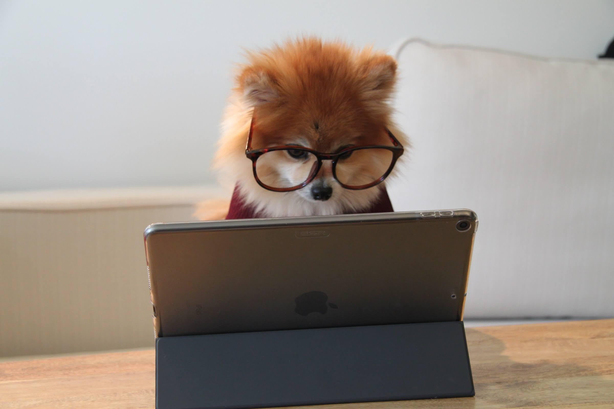 Pomeranian working on an iPad | Photo by Cookie the Pom via Unsplash