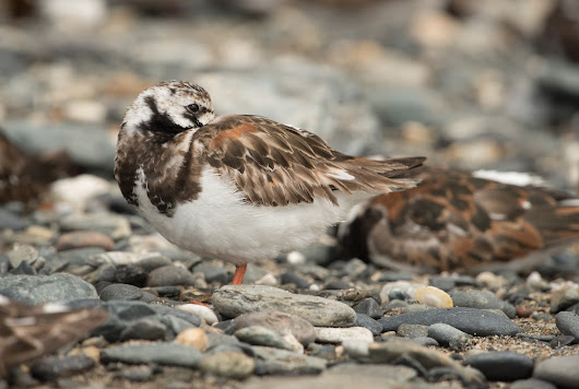 Second calendar year Turnstones in June in Cornwall