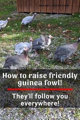 Trained guinea fowl