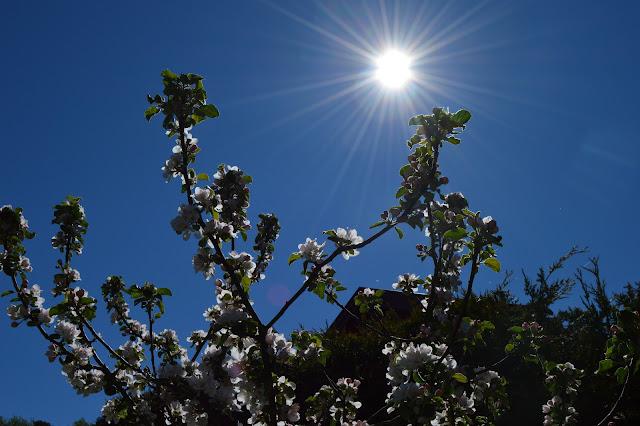 En solrik dag i Cornelias Verden - Frukttre i blomst mot solen