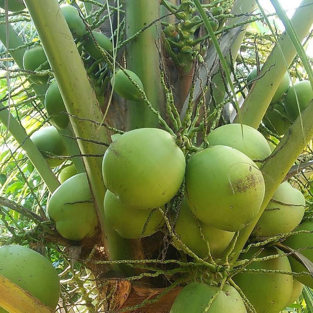 bibit kelapa hibrida super genjah Kalimantan Barat