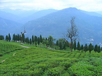 Tea garden, Sikkim