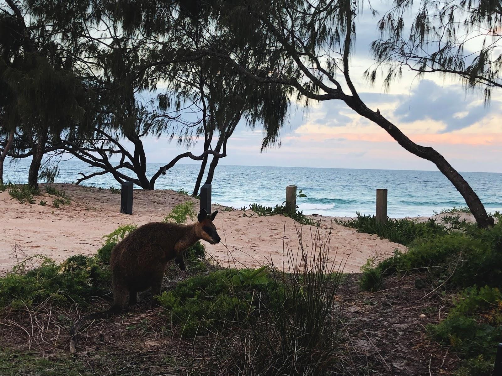 Kangur na Bribie Island