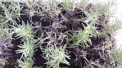 Cây hương thảo dễ bị thối đen hàng loạt khi giâm cành vào khoảng tháng 06-08 hàng năm