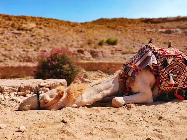 cammello-petra