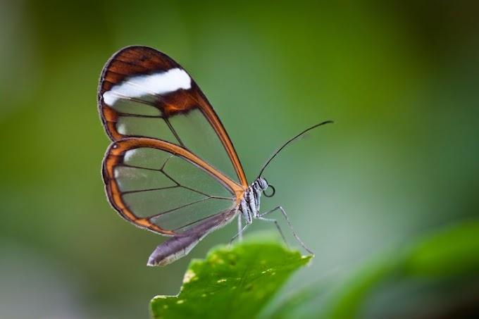 Os presentamos a la genial Mariposa de alas de cristal
