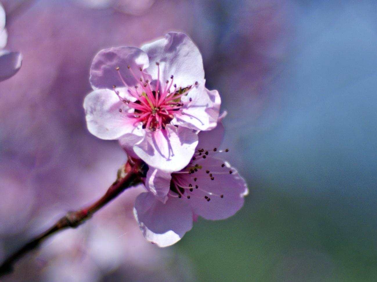 Bilder der Woche #67 (KW14/2021) – Weinbergpfirsichblüte