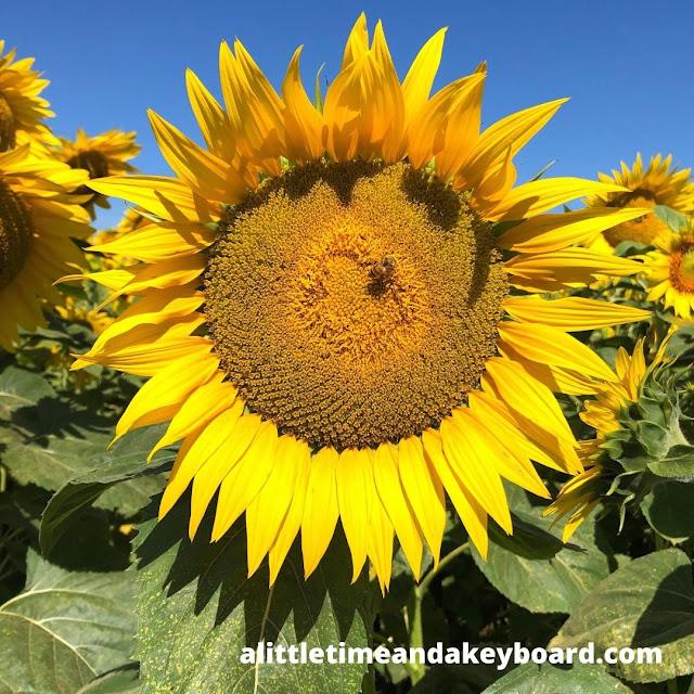 A bee enjoying a sunflower at Von Bergen's Country Market