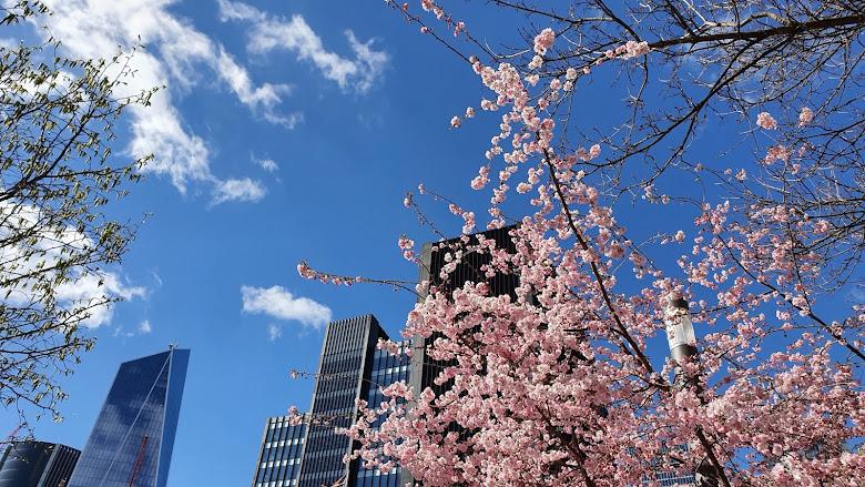 藍天、櫻花、與辦公大樓
