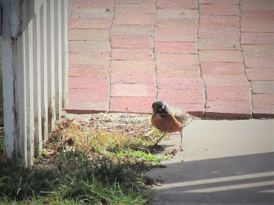 A robin stands on a sidewalk with a brick path behind it and looks for a worm in the grass.