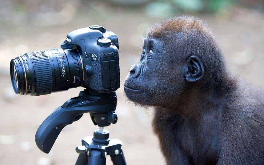 قرد - شمبانزي - أجمل الصور الفوتوغرافية في العالم