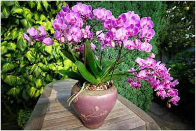 Orquídea plantada em vaso de barro