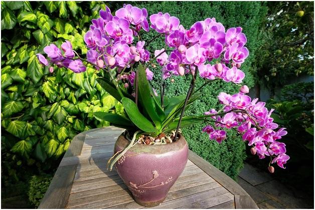 orquidea de supermercado plantada no vaso