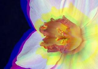 Flor de narciso aberracion cromatica