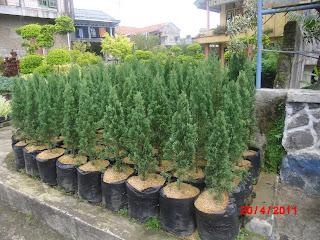 Tukang taman menjual pohon crmara pua pua