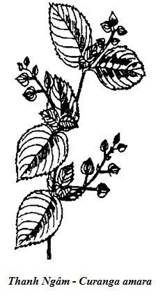 Hình vẽ Thanh Ngâm - Curanga amara - Nguyên liệu làm thuốc Chữa Bệnh Tiêu Hóa