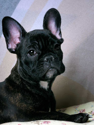 Portrait of a black French Bulldog with big ears pointing forwards