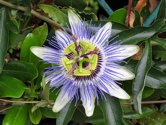 Passiflora, passion flower, via Bonomo, Livorno