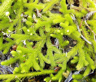 লাইকোপোডিয়াম ক্ল্যাভেটাম (Lycopodium Clavatum) [ ক্লাব মস নামক পাহাড়ী শৈবাল]