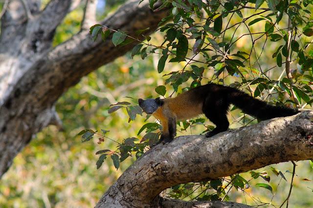 Yellow-throated Pine Martin