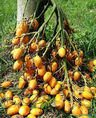 Pinang Pinang adalah tanaman berjenis monokotil (satu biji) yang sangat berguna untuk kesehatan dan kecantikan manusia serta lainnya. Sebagai tanaman monokotil, pinang dapat tumbuh mulai dari ketinggian 0 hingga 1.000 meter di atas permukaan laut (mdpl).