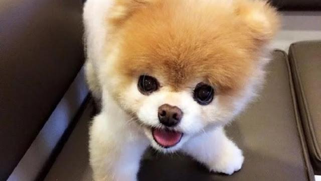 Πέθανε το πιο όμορφο σκυλί στον κόσμο (photos & video)